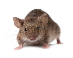 Get rid of mice and rodents South Shore, Cape Cod